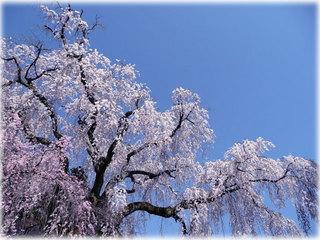 20110407_sakura.jpg